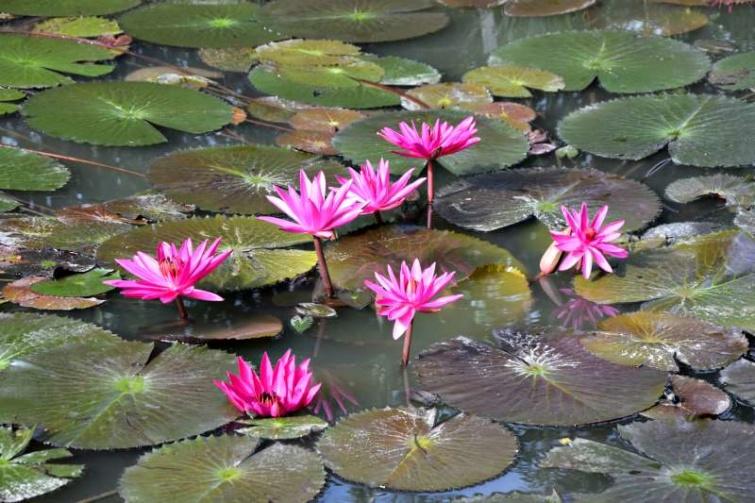 Indiai tündérrózsák a Hévízi-tó felületén
