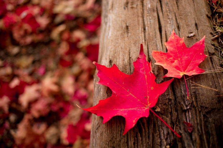 Kanada, juharlevelek ősszel.