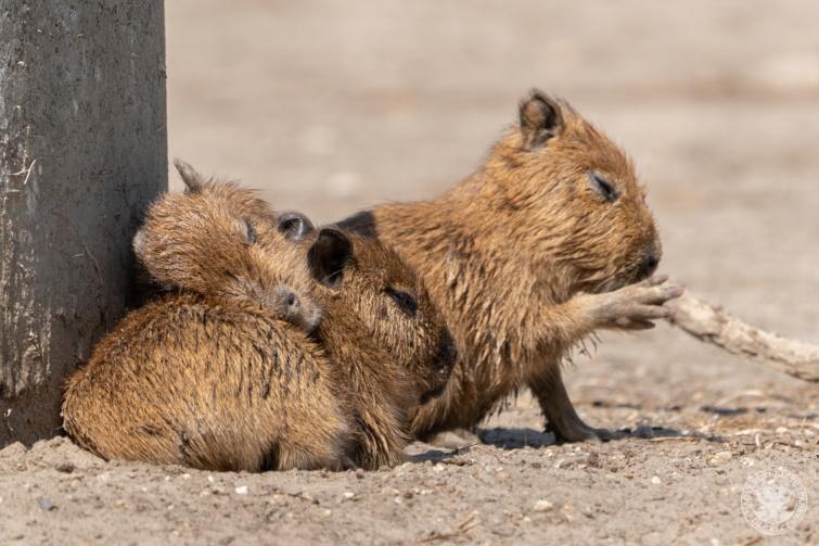 Kapibarakölykök
