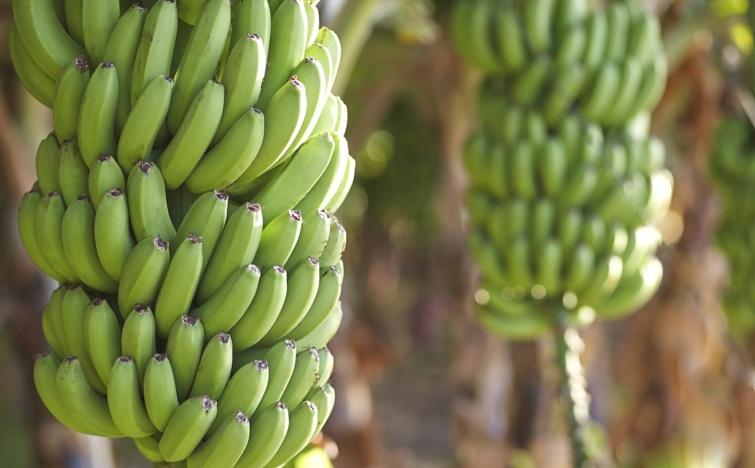 Járvány miatt veszélyben a banángazdaság